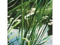 acorus calamus variegata 18x18