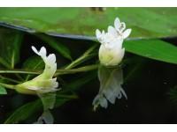Aponogeton distachyos (3L.)