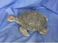 BLUE 5 schildpad