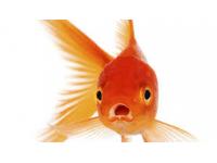 goudvismix 20/25 cm  3 voor 60.00 €