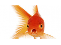 goudvismix 20/25 cm  3 voor 60 Euro