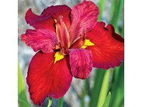 Iris Ann Chowning (18x18)