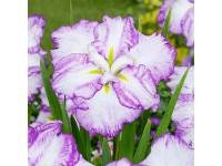 Iris ensata Dinner Plate Tiramisu
