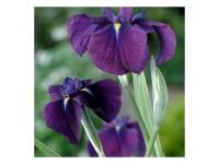 Iris kaempferi Variegata (28x28)