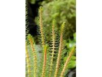 Myriophyllum crispata (18x18)