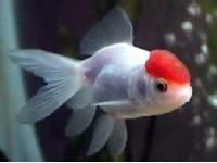 Redcap  5/7 cm